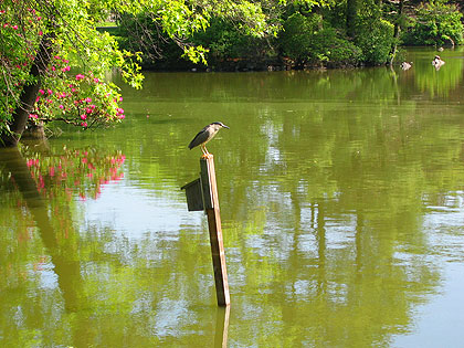 Night Heron at Lake Hibiscus